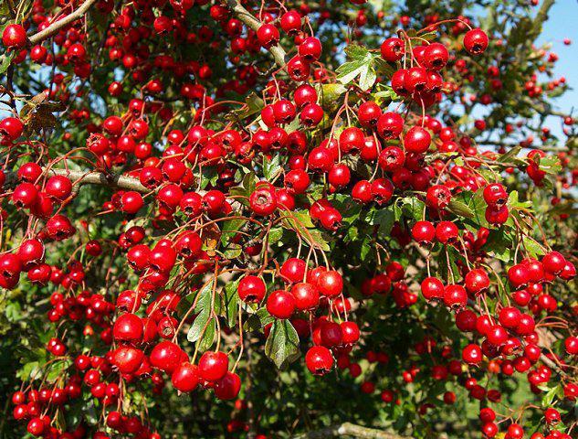 Лекарственные растениия - боярышник кроваво-красный. Описание, фотографии, применение в медицине.