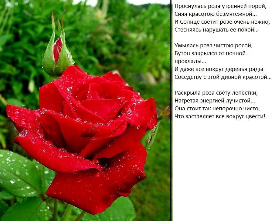 картинки цветы со стихами имя роза свадебной