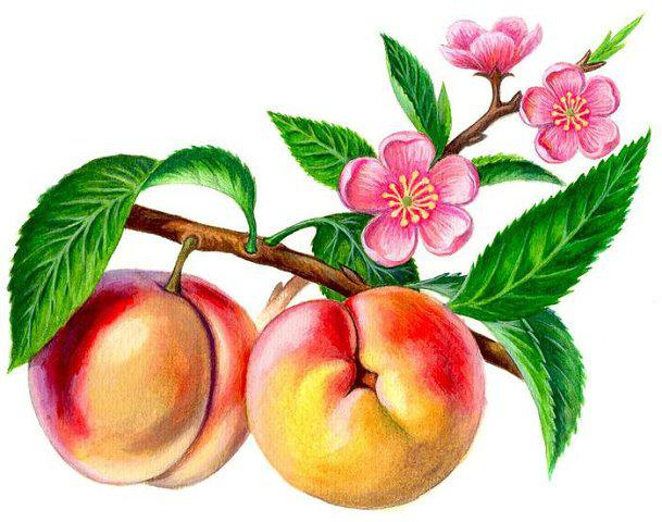 Петух цветок персика