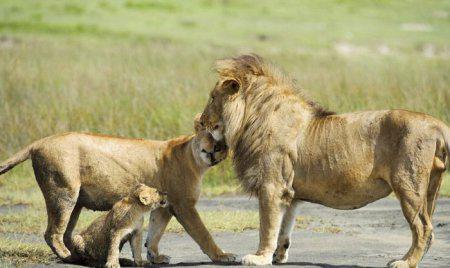 Лев и львица сексуальная совместимость